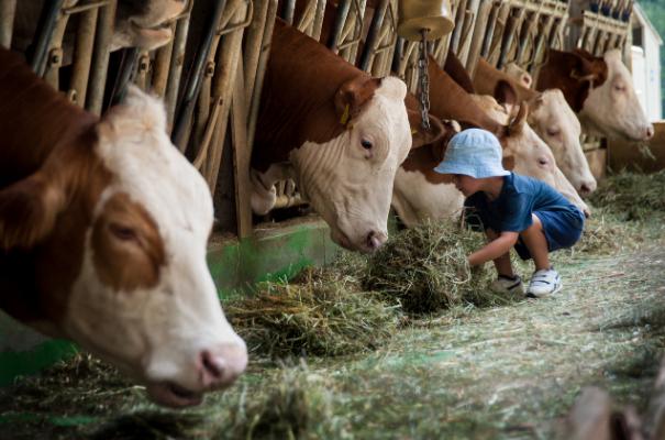 dziecko karmiące krowy